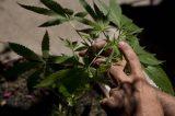 Uruguai aprova regulação da venda e cultivo de maconha