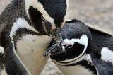 Mudanças climáticas estão matando filhotes de pinguins
