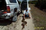 Engenheiros encontram cobra de 5,5 metros