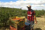 Vale do São Francisco: agricultor desembolsa R$ 5 mil ou 250 caixas por hectare para custear a acerola