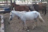 SEMAURB realiza operações noturnas e apreende animais soltos nas ruas de Juazeiro