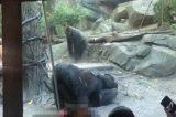 Gorilas fazem sexo oral e deixam público chocado em zoológico