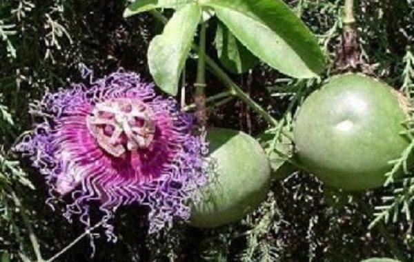 Pesquisadores desenvolvem protetor solar à base da folha de maracujá do mato